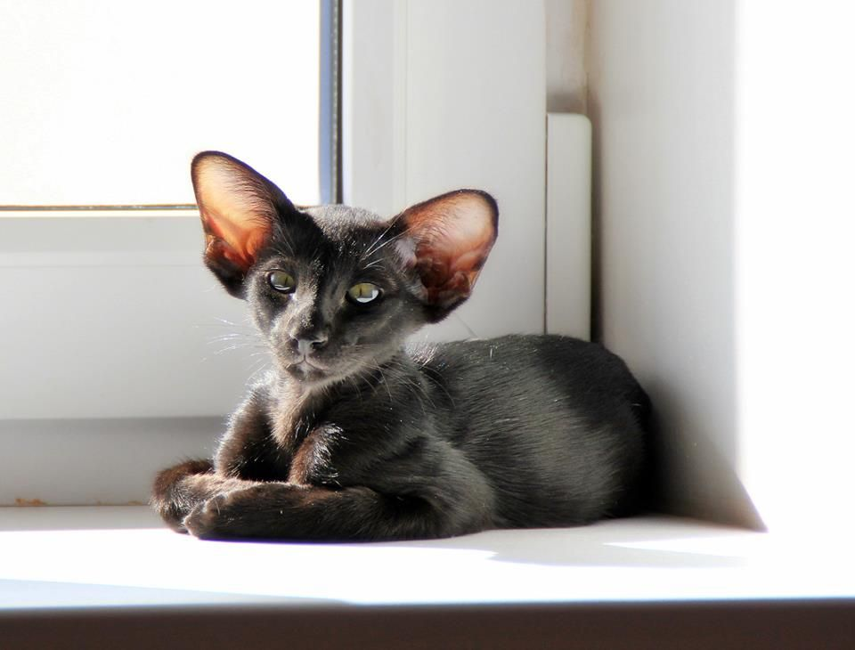 AMIKOSHI*RU: Cattery siamese & oriental cats. SIA & ORI ...