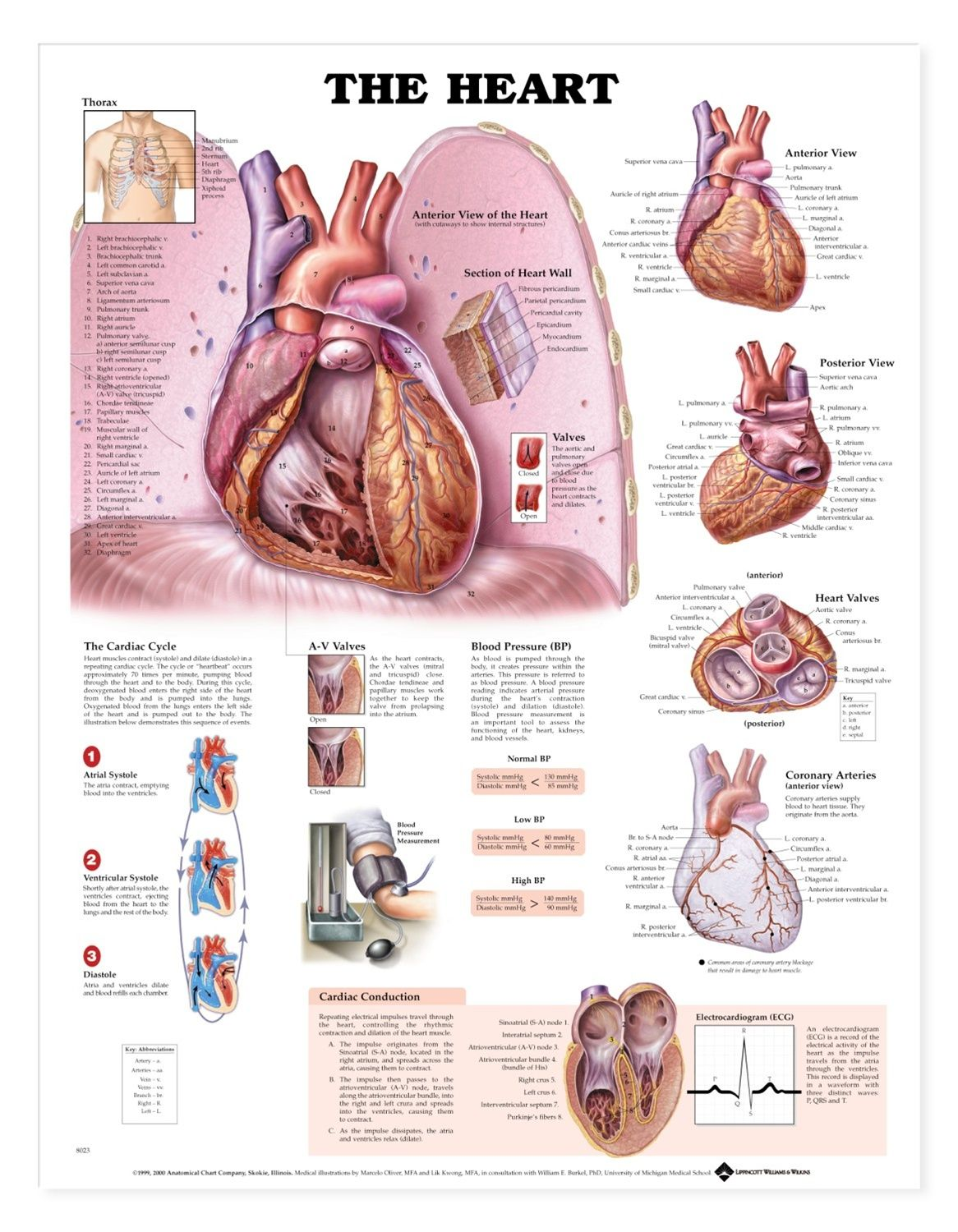 The Heart Anatomical Chart Poster Laminated Ive Got Your