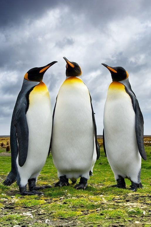 Three King Pinguins