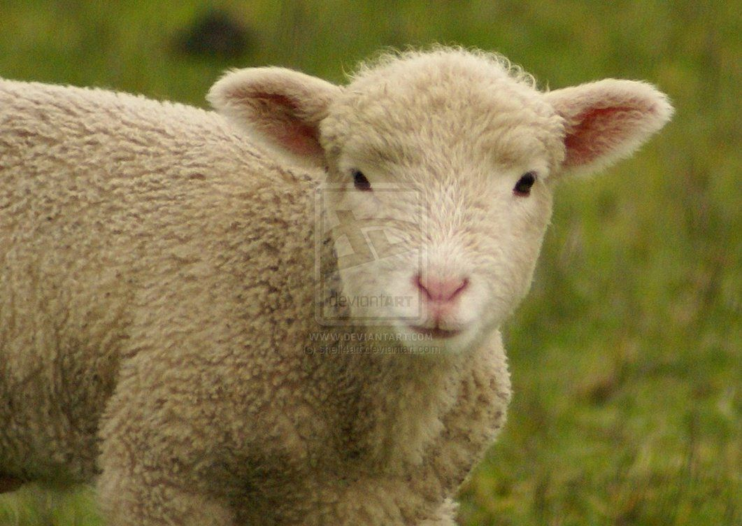 Cute Sheep Images