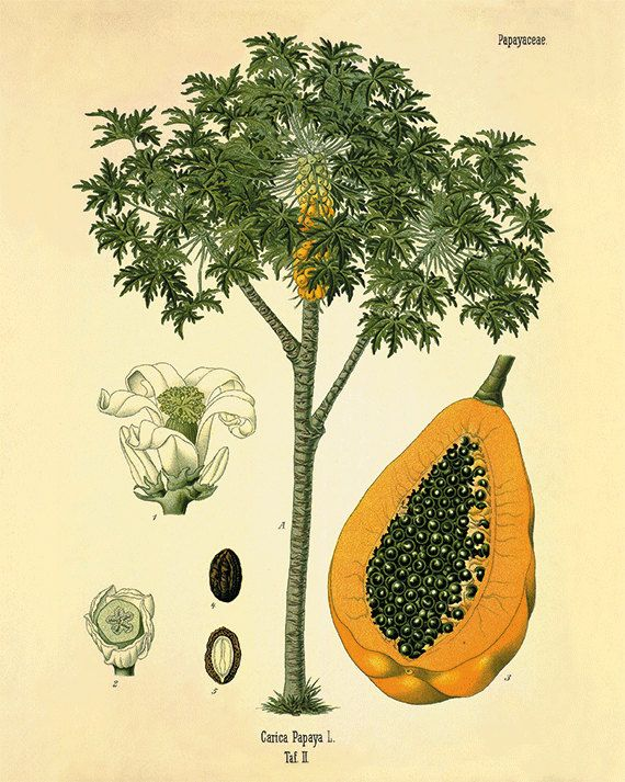 Papaya Art Calendar Uk : Papaya art print antique kitchen botanical