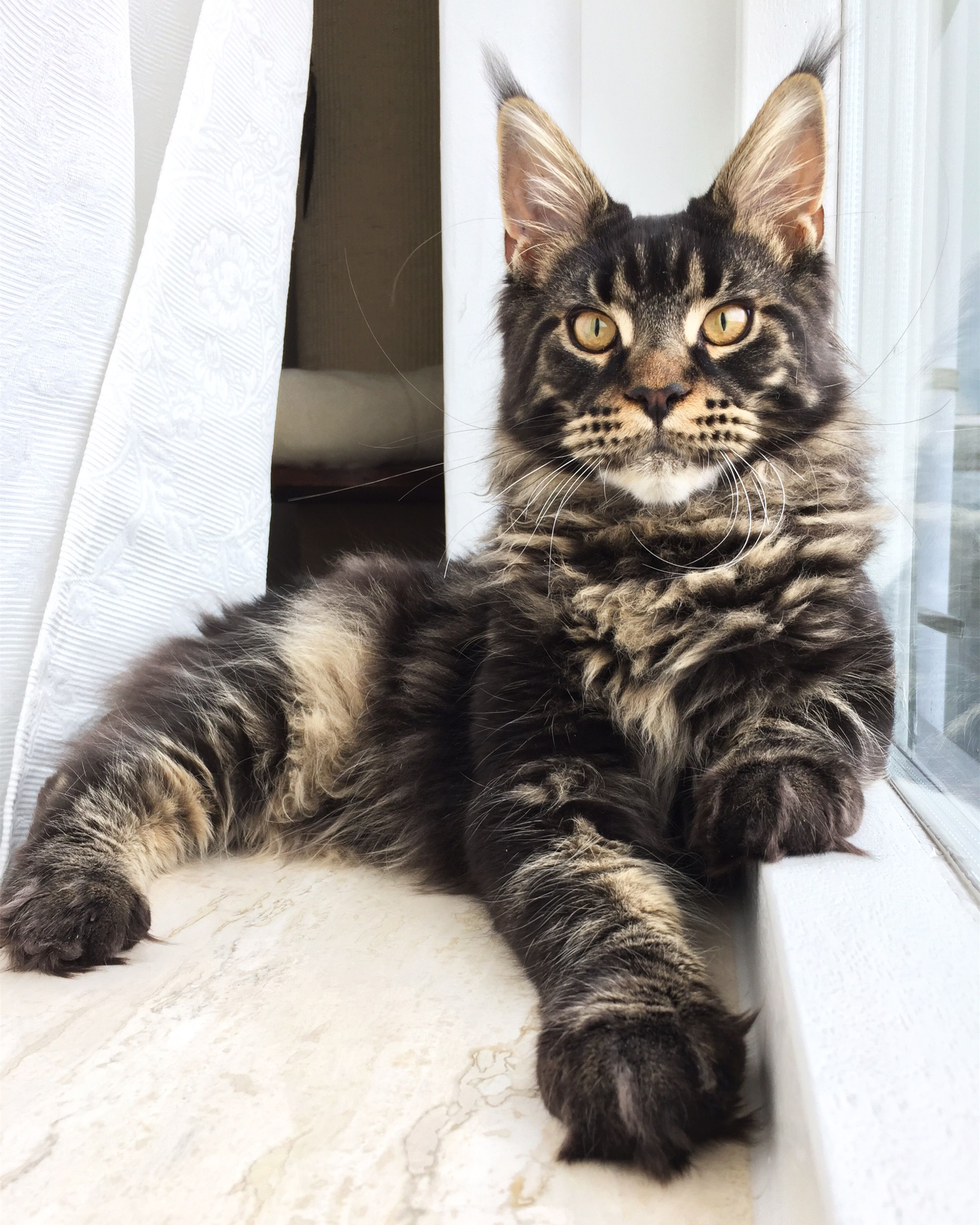 Maine Coon vs Norwegian Forest Cat Maine coon kittens