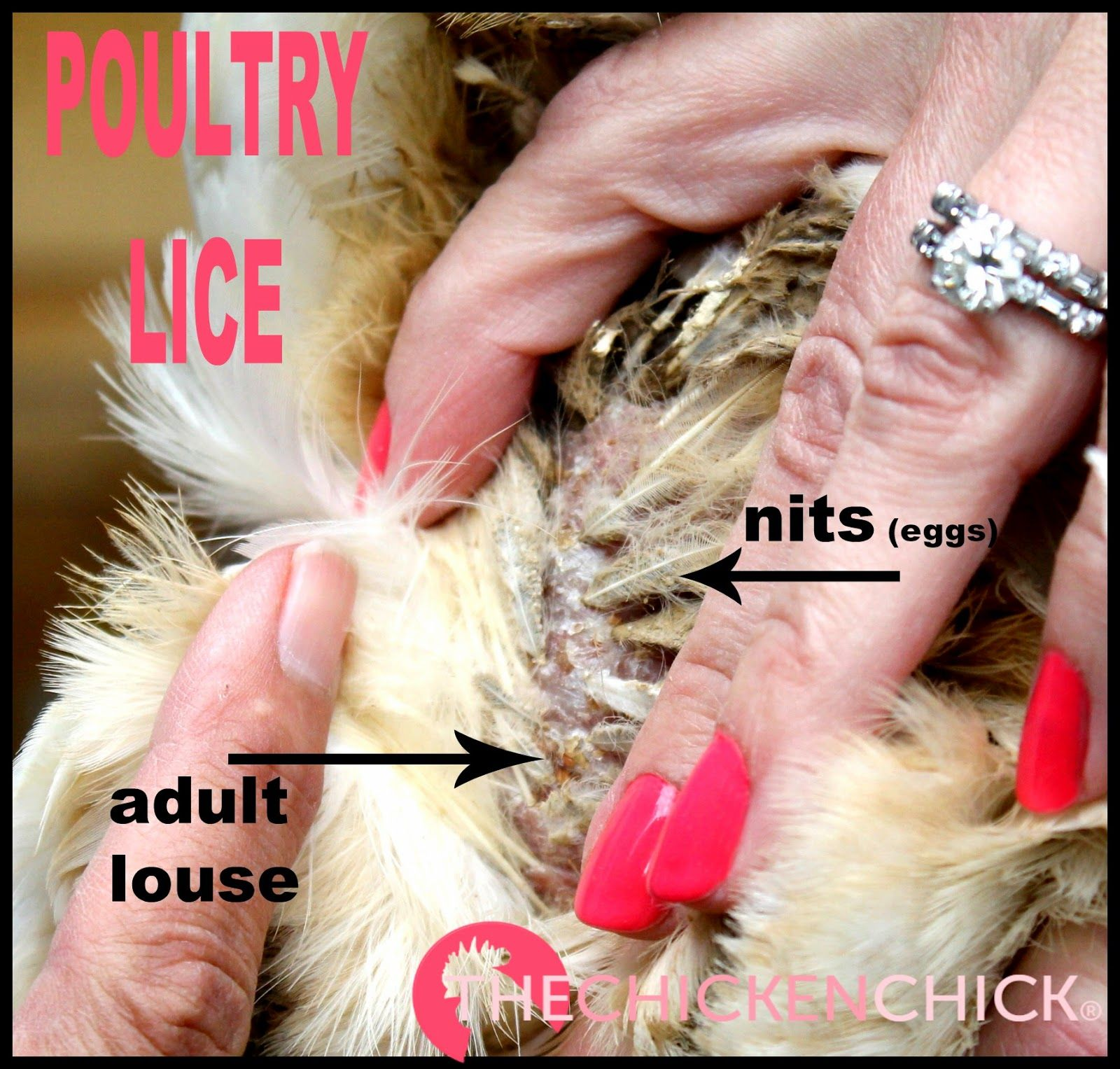 Poultry Lice and Mites Identification and Treatment | Pinning with ...