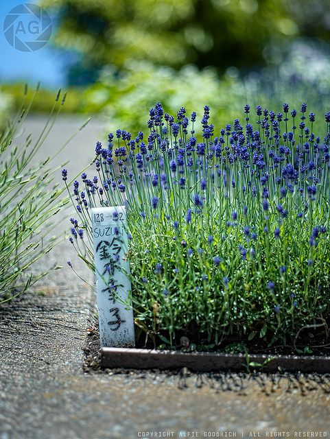 Enjoy Gardening Without The Breaking Your Back With This: Lavender, Lavender Garden