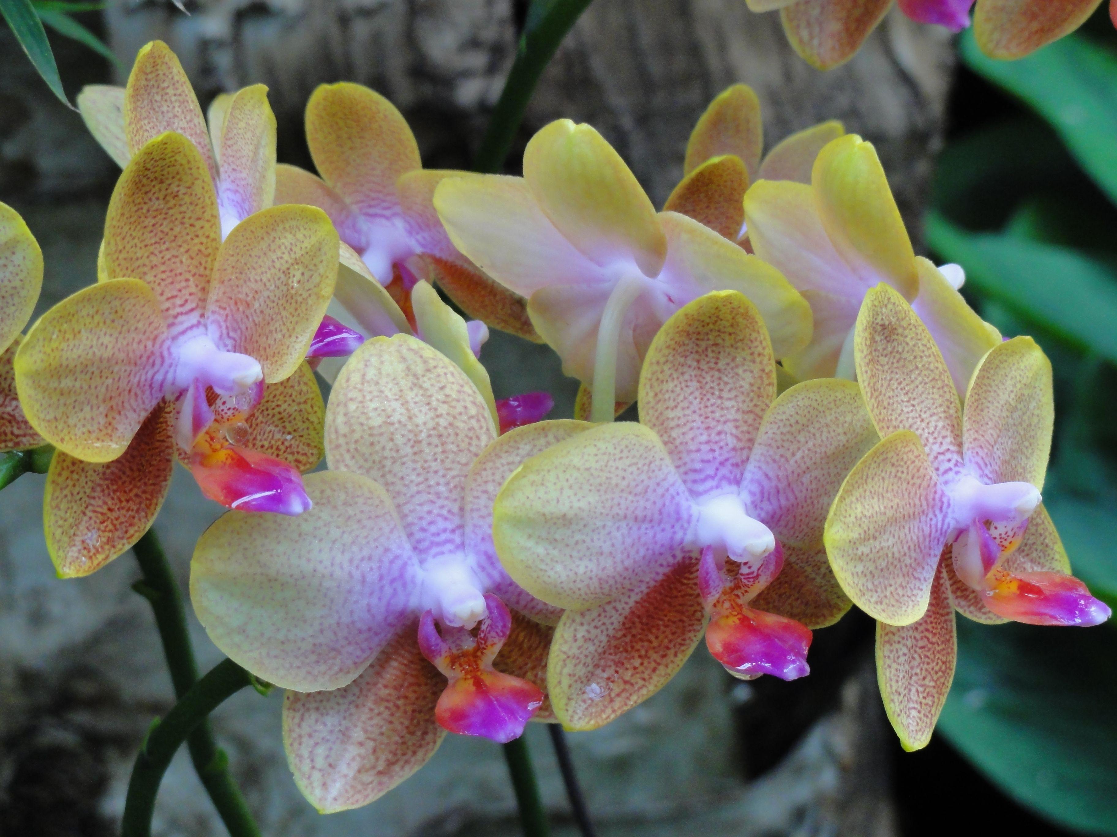орхидеи голд раш фото преддверии свадебной