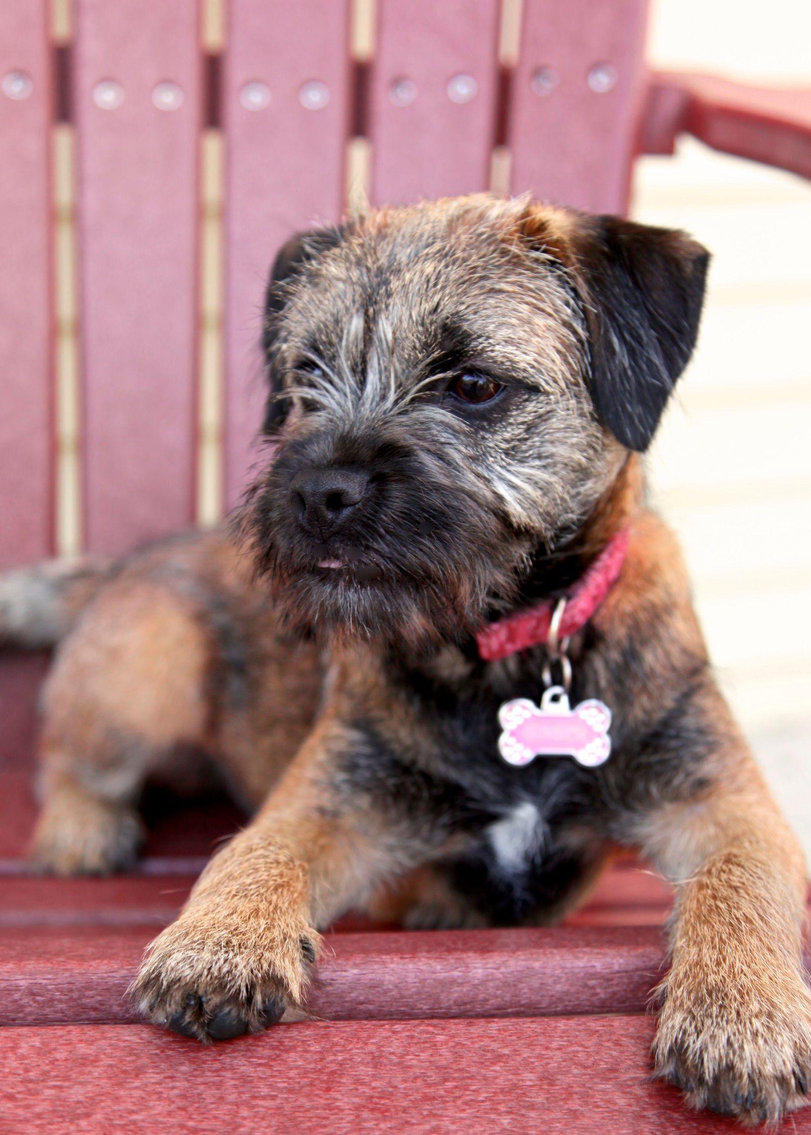 Yorkshireterrier Border Terrier Border Terrier Puppy