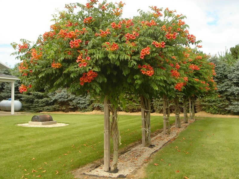 Photo of trumpet vine grown as a tree a 6x6 post cemented in the photo of trumpet vine grown as a tree a 6x6 post cemented in the ground to support it keep them at about 6ft high in the fall cut the side branching mightylinksfo