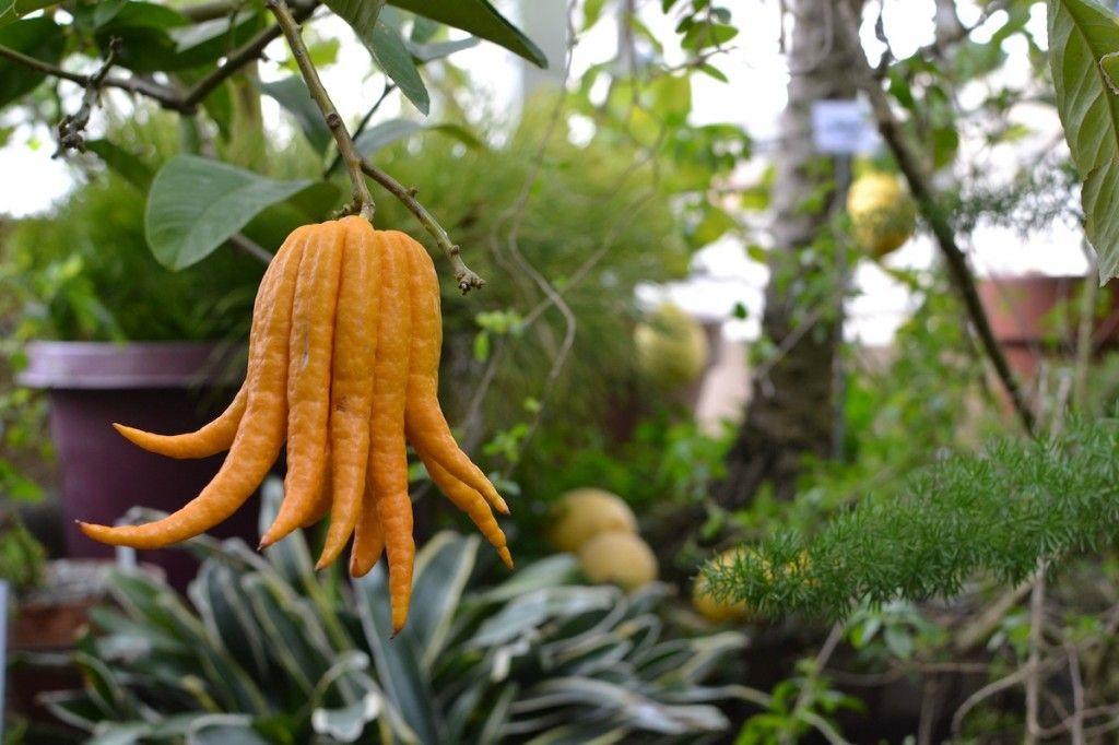 Citrus medica var. sarcodactylis, known as Buddha's Hand