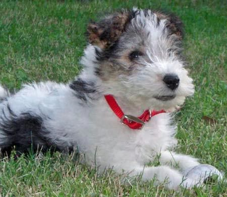 wire fox terrier puppy | Terriers | Pinterest | Fox terriers ...