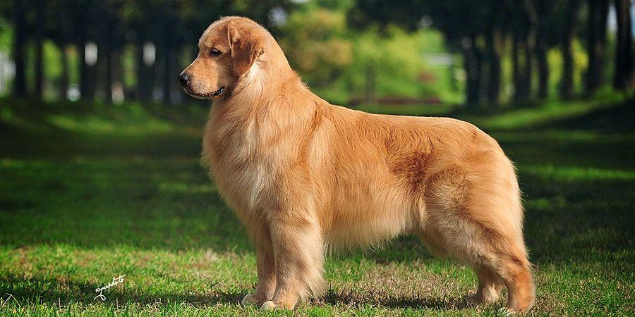 Seven Of The Most Interesting Golden Retriever Mixes Golden Retriever Grooming Golden Retriever Golden Retriever Facts
