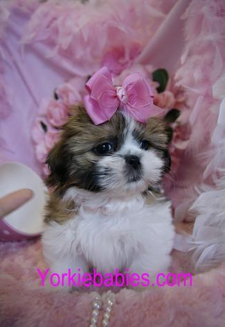 Shih Tzu For Sale Teacup Shih Tzu Shih Tzu Breeds Shihtzu For Sale Teacup Puppies Shih Tzu Puppy Shih Tzu Teacup Dog Breeds