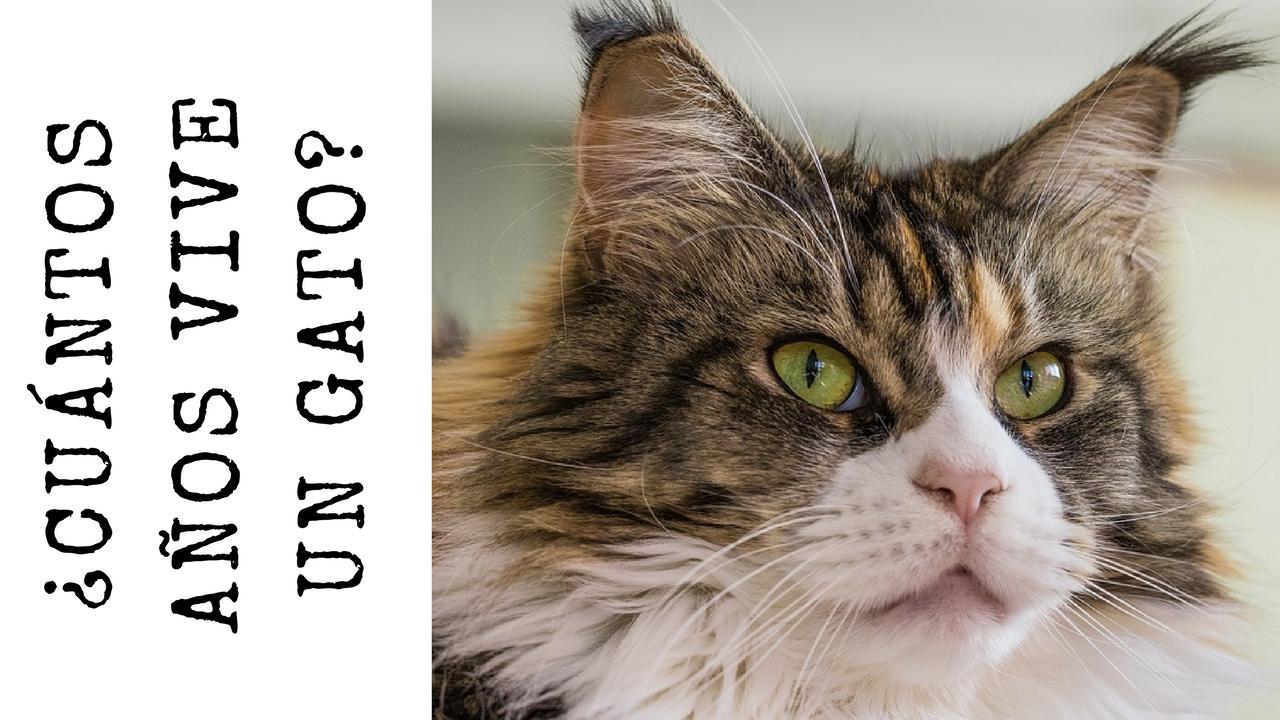 Curiosidades Y Respuestas A Todas Tus Preguntas Gatos Mascotas Gatito