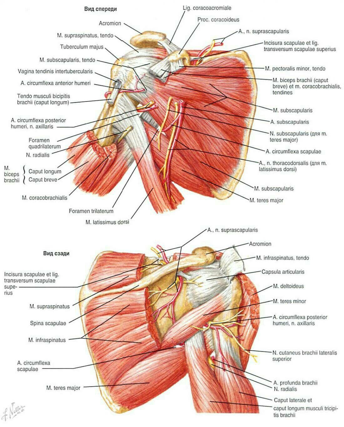 Pin by Ronald Hedblad on Kroppen | Pinterest | Anatomy, Rotator cuff ...