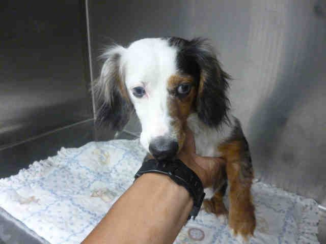 Texas Urgent Id A657046 Is A 2y O Blue Merle Longhaired