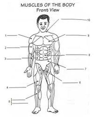 Worksheet   Homeschool The Human Body   Muscular system