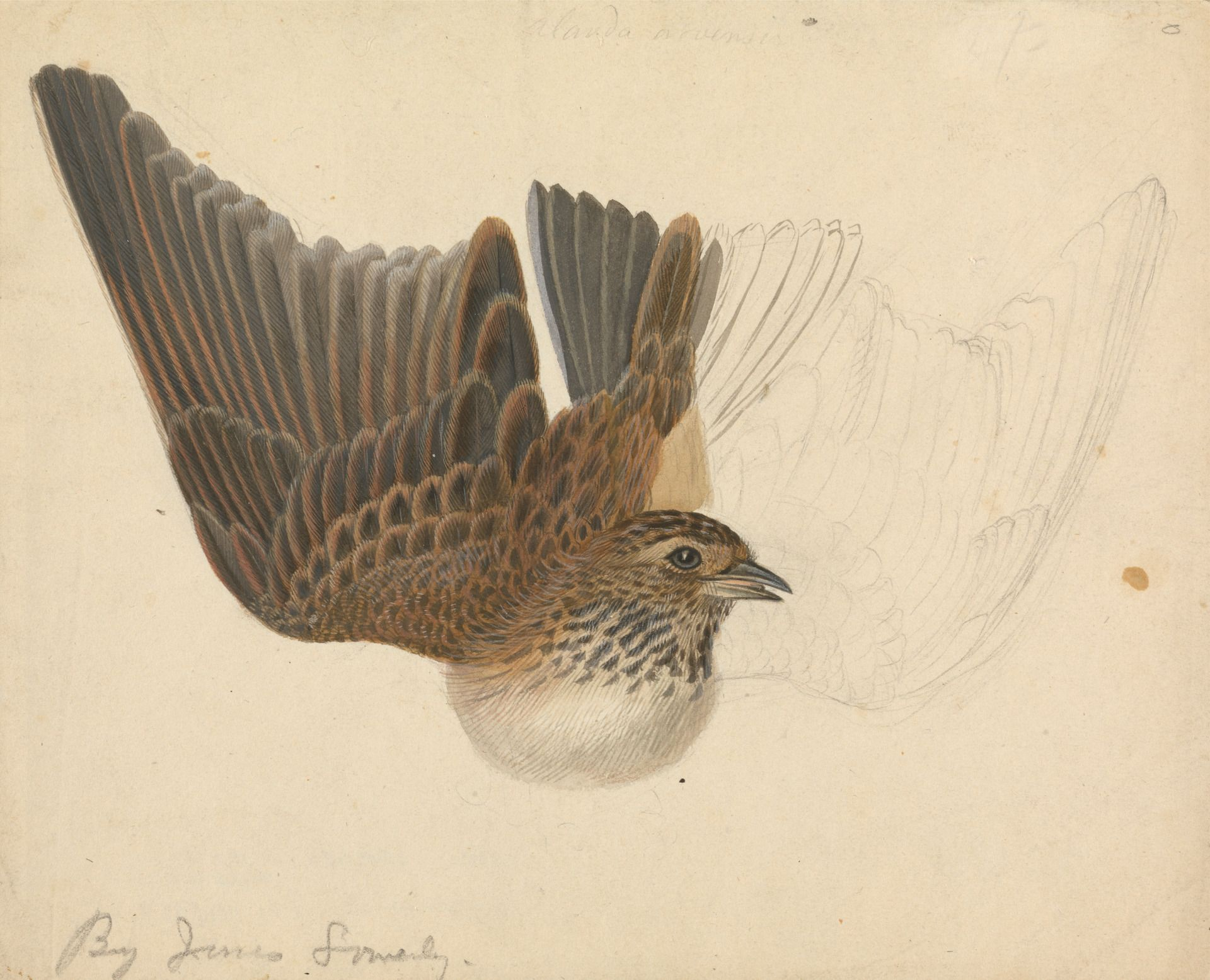 James Sowerby, 1756-1822, A Bird with Wings Spread, undated, Watercolor, gouache, and graphite on medium, slightly textured, cream wove paper, Yale Center for British Art, Paul Mellon Collection
