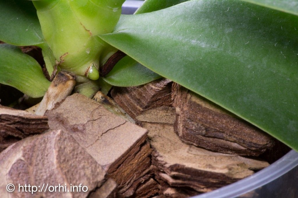 хороший фото цветоносов и корней у орхидеи настоящее время