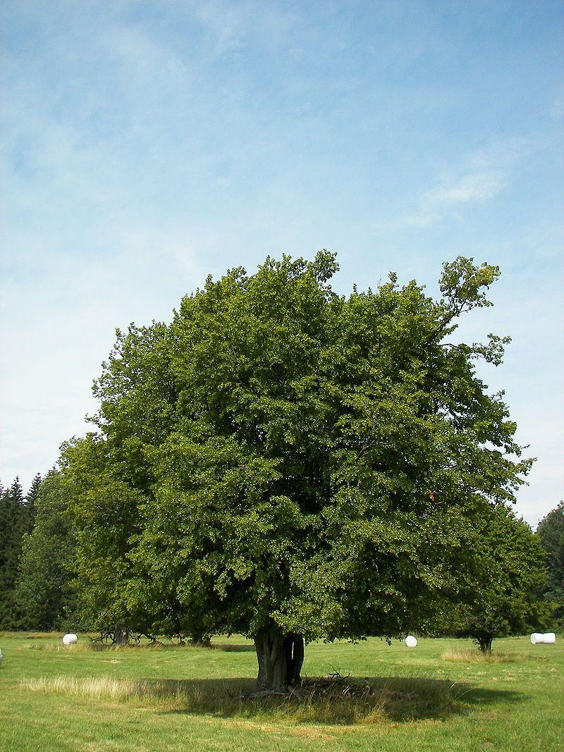Fagus sylvatica \'Laciniata\' or \'Asplenifolia\' – Cut Leaf European ...