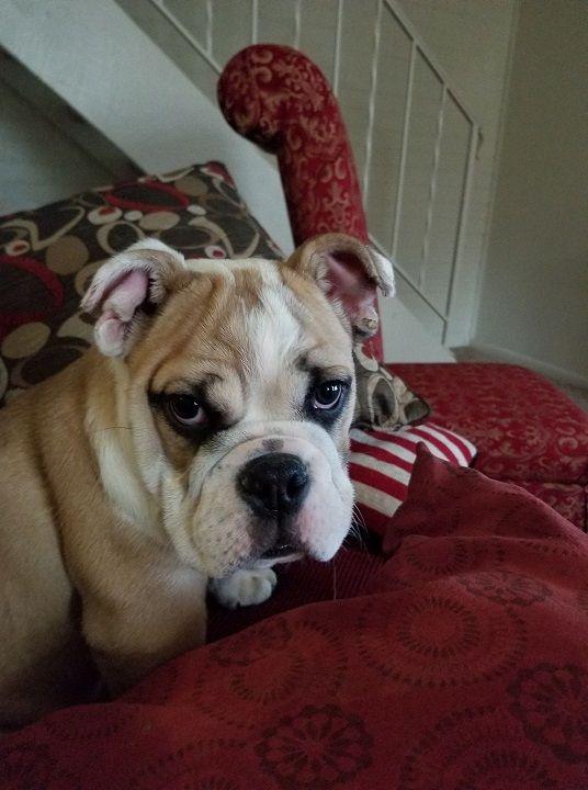 Good Morning Colorado English Bullie 16 Weeks English Bulldog