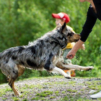 No matter how you play with your dog, you might have the type of dog who tends to get overly aroused when she gets excited. Just like some children, some dogs come hard-wired to spiral into a state of emotional overload in seemingly low-key situations. All dogs need their owners to know the signs of over arousal. Read more on Animal Behavior Resource Institute here: http://abrionline.org/article.php?id=249