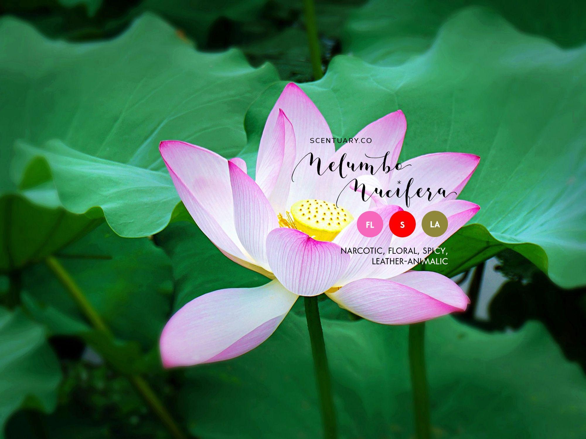 Lotus Essential Oil Botanicals Essential Oils Essential Oils