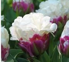 Resultado de imagen de rare tulip