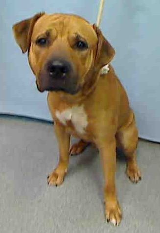 Manhattan Center SMOKEY – A1044216 MALE, BROWN, PIT BULL MIX, 2 yrs STRAY – STRAY WAIT, NO HOLD Reason STRAY Intake condition UNSPECIFIE Intake Date 07/15/2015 http://nycdogs.urgentpodr.org/smokey-a1044216/