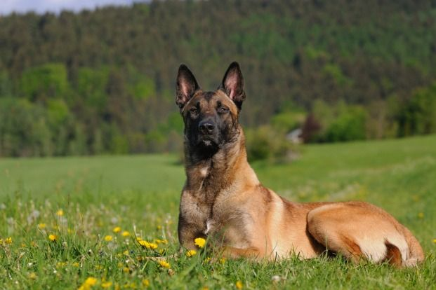 The 15 Dog Breeds With the Best Sense of Smell Belgian
