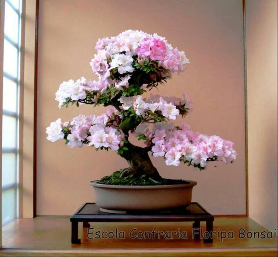 Azalea bonsai bonsai bonsai bonsais y plantas - Plantas para bonsai ...