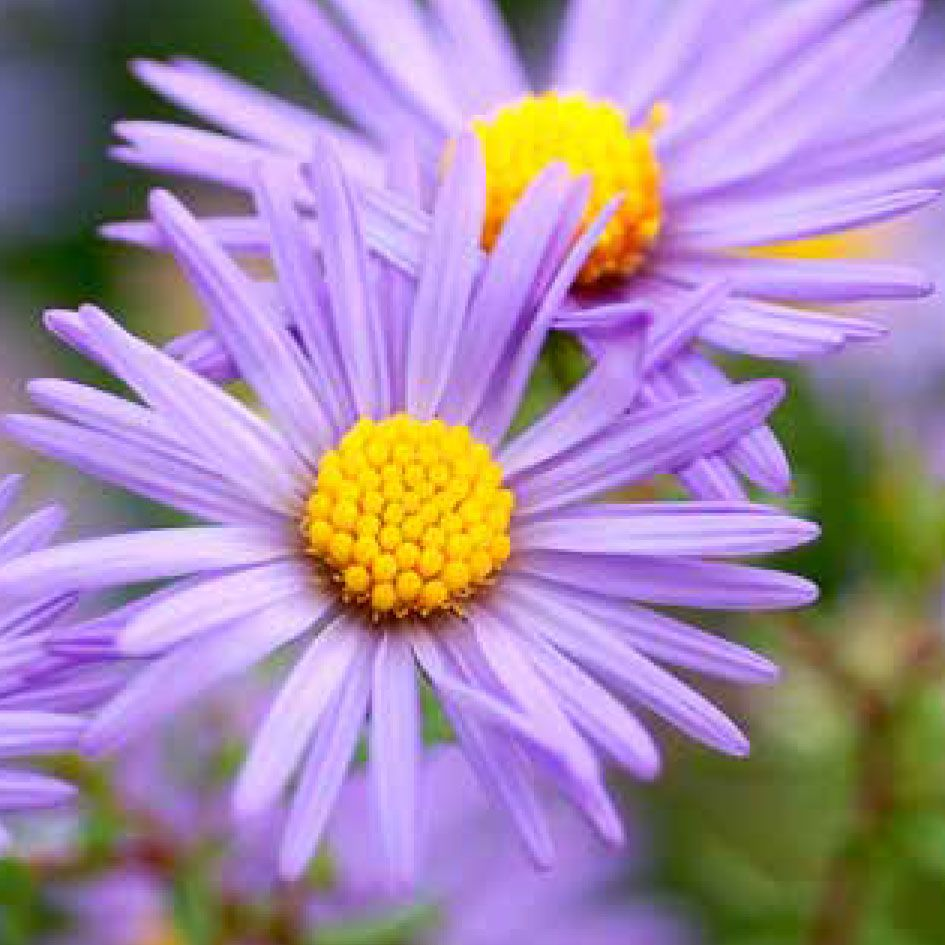 A Comparative Study of Cultivated Asters — Issue 36