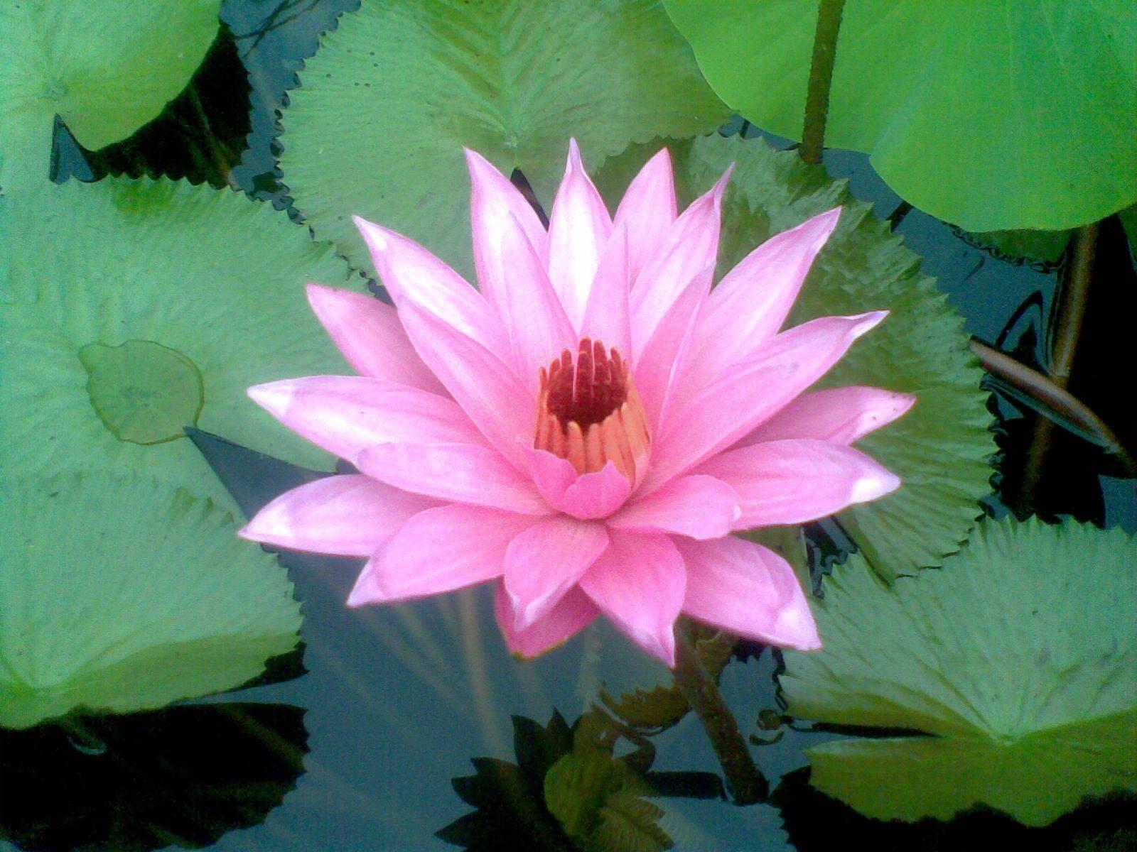 Bunga Teratai Bunga Gambar Bunga