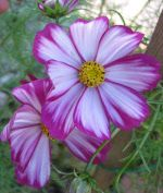 Cosmos.   A must for the flower border this year. Blooms well into the autumn and self-seeds.