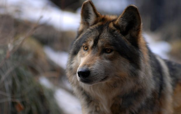 Wolf Beauty Without Vanity Beauty
