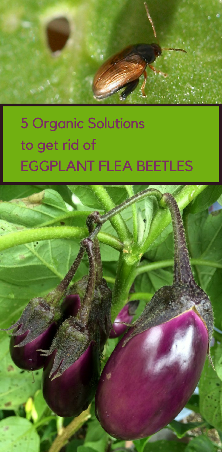 3042b98d044f7e6c734ad122ea66e504 - How To Get Rid Of Flea Beetles In House