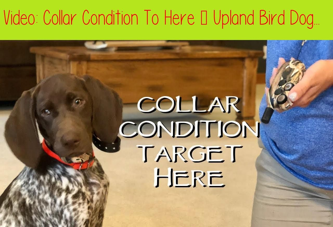 Collar Condition To Here Upland Bird Dog Trainingwelcome To
