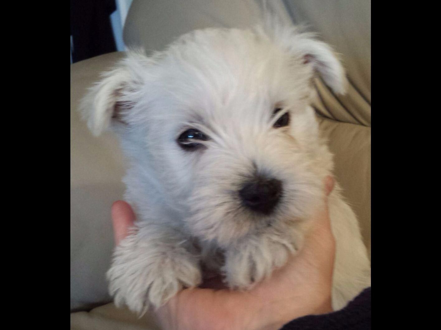 Gristmill Westies In Stroudsburg Pa On American Kennel Club