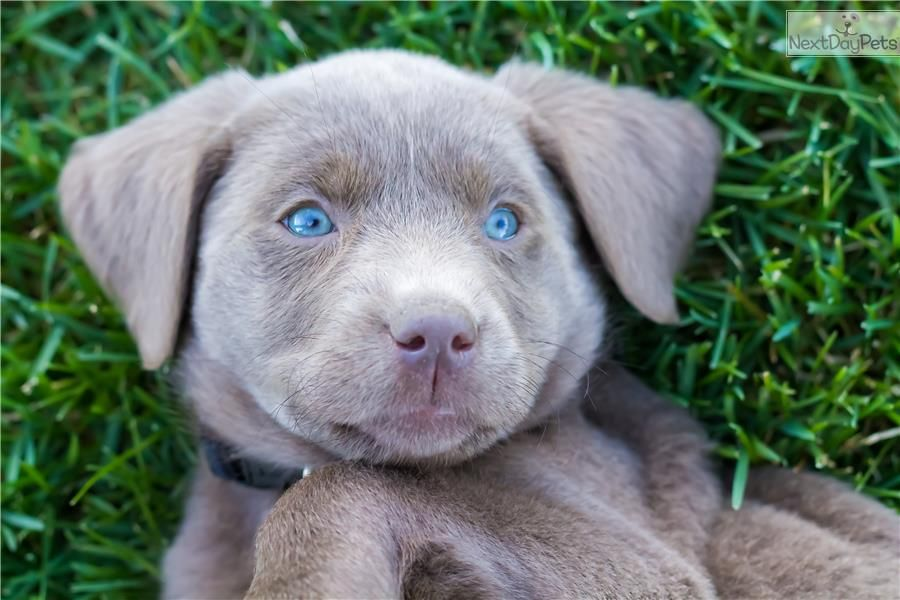 Professionally Trained Female Silver Lab Puppy Labrador Retriever Silver Lab Puppies Labrador