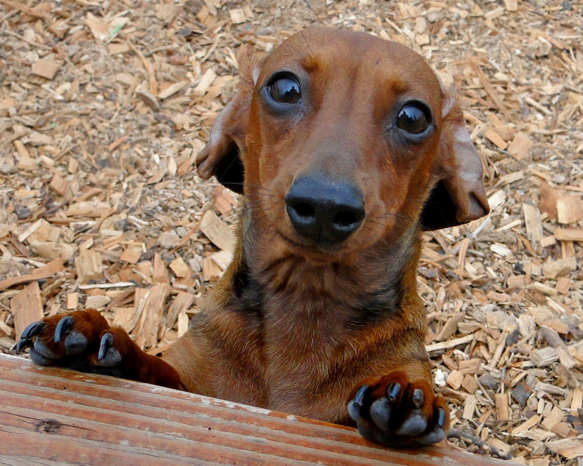 I'm a dog null Schnoodle dog, Dachshund dog, Weenie dogs