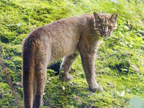 Asian golden cat II (by Tambako the Jaguar)