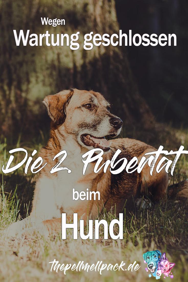 2 Pubertat Maintenance Mode Please Return Later The Pell Mell Pack Hunde Hundeverhalten Tierschutz Hunde