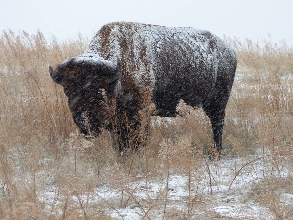 Photo from Peter Pereira; Bison at Rocky Mountain Arsenal Wildlife Reserve. 12/12/15