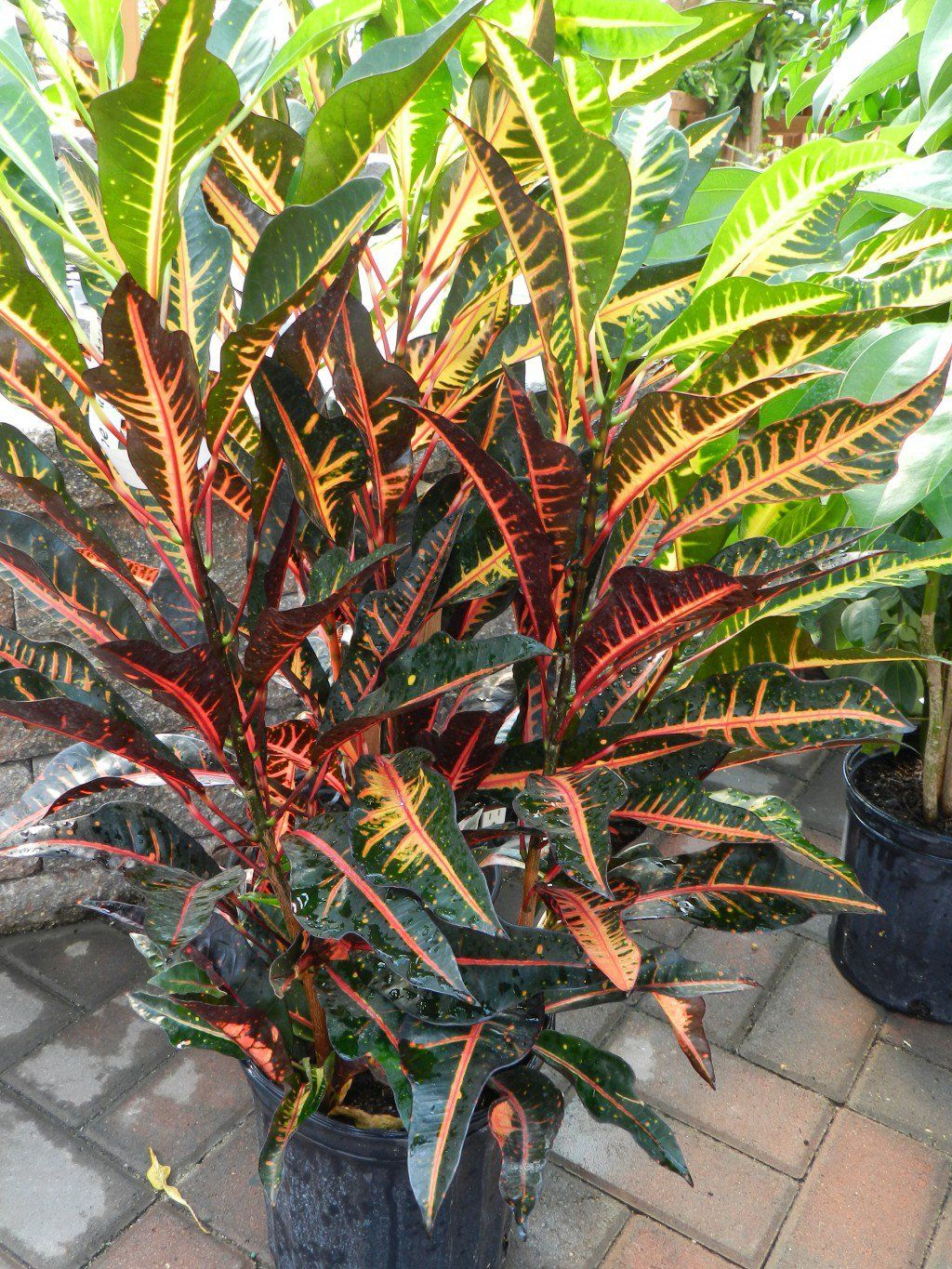 Caring For Tropical Plants Part - 15: Croton Care