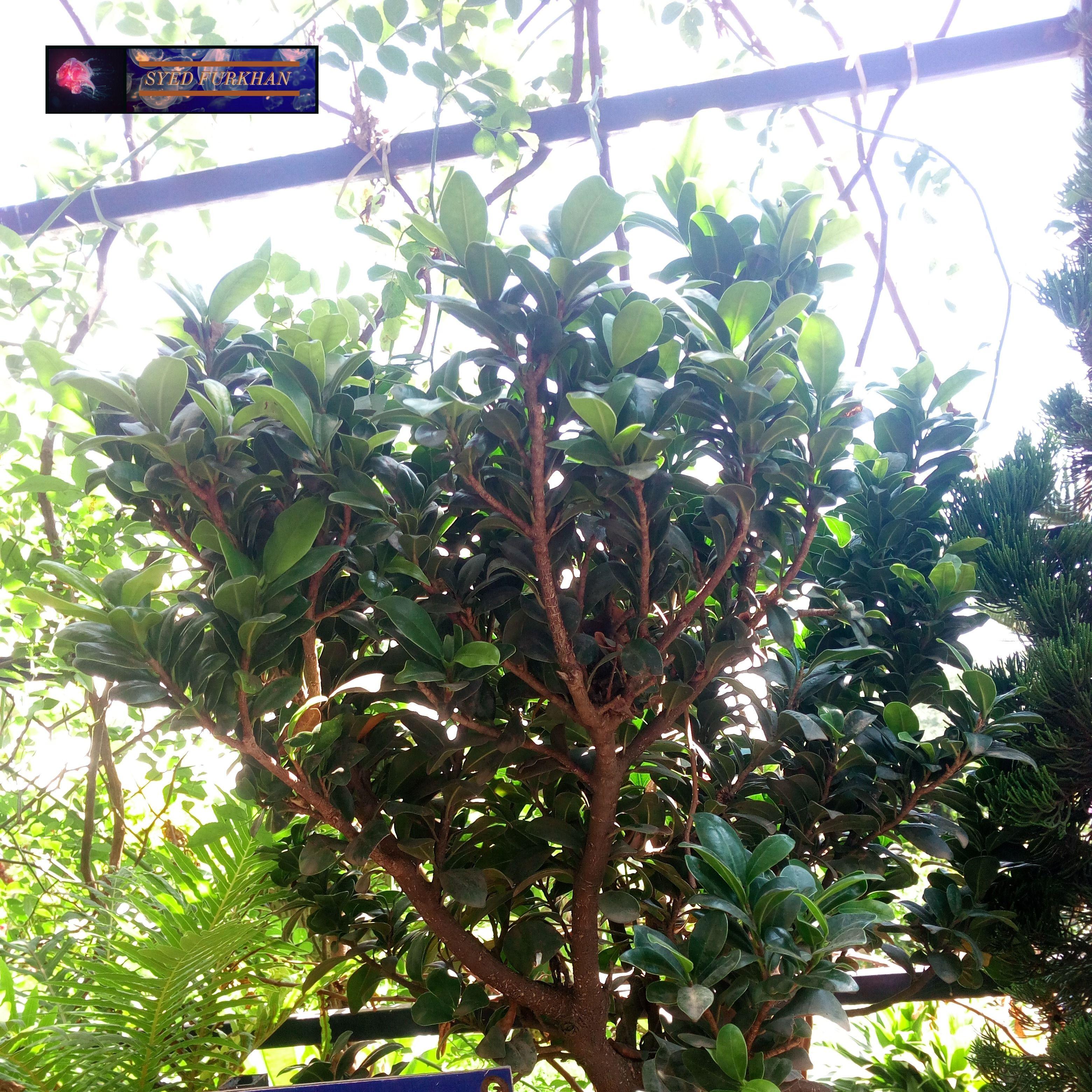 ITTHI( Ficus gibbosa blume) Plants
