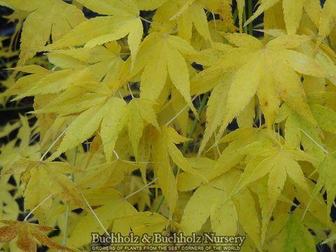 Acer Palmatum Ukon Japanese Maple Tree Japanese Maple Tree
