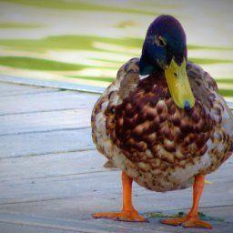 Designer duck