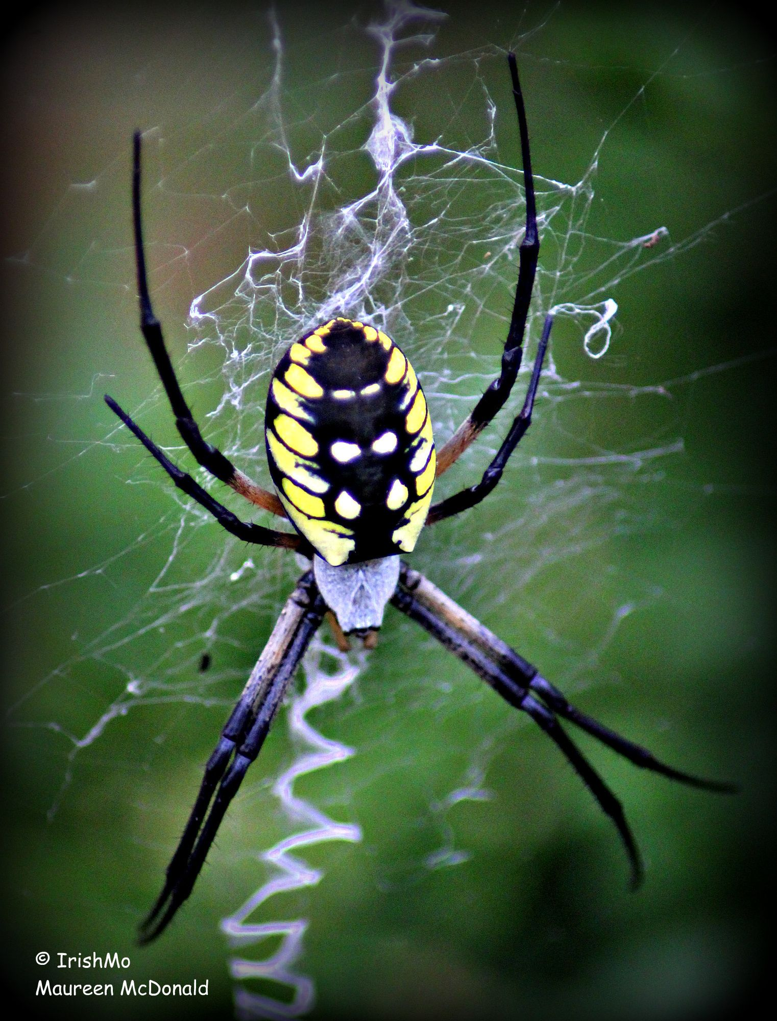 Yellow Argiope Spider Spinning Her Signature Zigzag Web By Maureen
