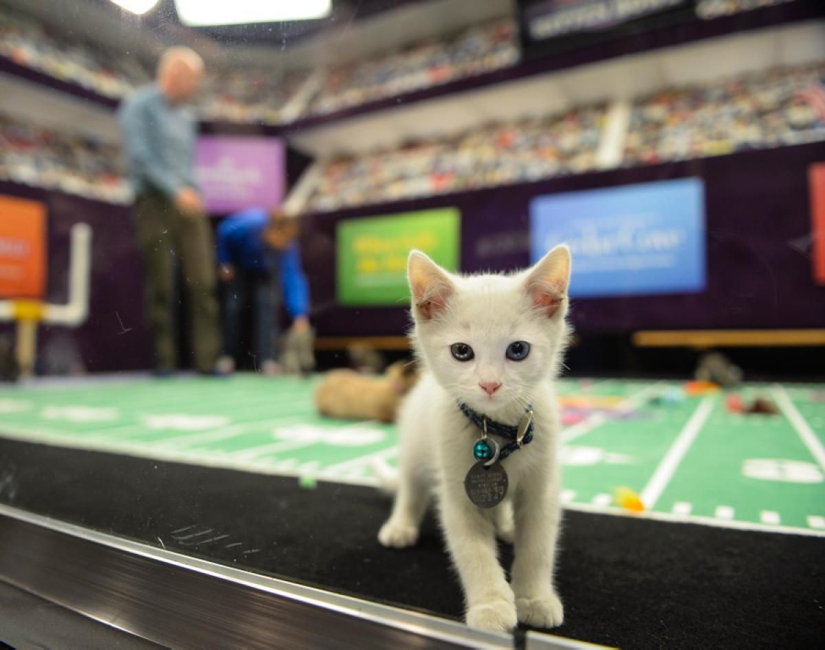 A Pint Sized Player Stands On The Sidelines The Su Purr Bowl Madness Is Set To Air In February Kitten Bowls Kitten Animal League