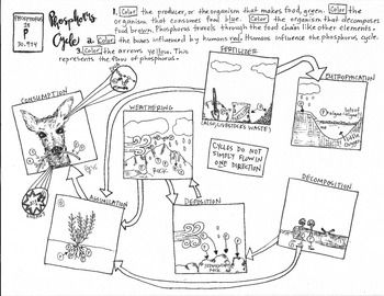 Phosphorus Cycle Coloring Sheet | Biology and other ...