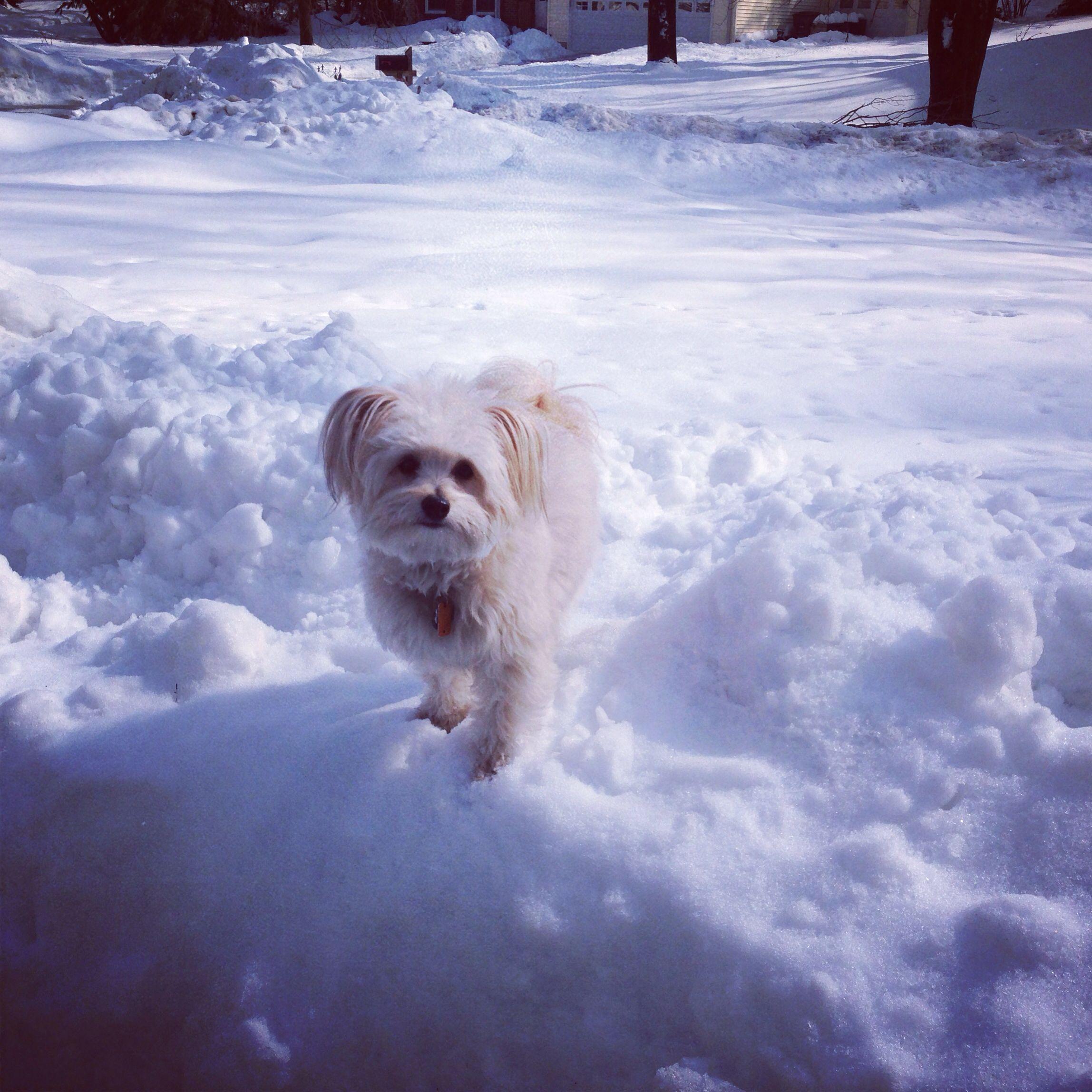 Yorkie poo snow