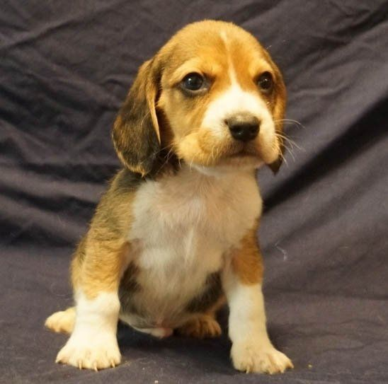 Clayton A Beagle Puppy Pocket Beagle Puppies Beagle Puppy